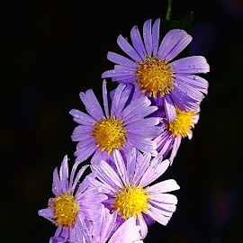 Bouquet d'asters by Gérard CHATENET - Flowers Flowers in the Wild