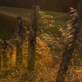 Fence Line by Kevin Frick - Landscapes Prairies, Meadows & Fields ( grasses, fence, sun )