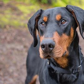 Atlas 2 by Jennifer Wollman - Animals - Dogs Portraits ( pet photography, dogs, dog portrait, doberman )