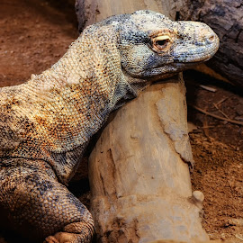 Komodo Dragon by Dave Walters - Animals Amphibians ( pensacola, animals, nature, zoo, komodo dragon, colors )