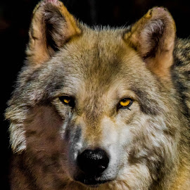 Yellow eyes by Greg Griffin - Animals Other Mammals