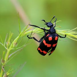 Orange Blister Beetle by Kishore Bakshi - Animals Insects & Spiders ( orange, pushups, insect, black, beetle,  )