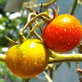 { Tomato's on the vine }  by Jeffrey Lee - Nature Up Close Gardens & Produce ( tomato's, tomatoe,  )