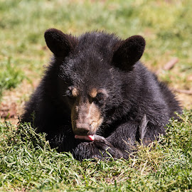 Bear Cub by Mike Vaughn - Animals Other Mammals