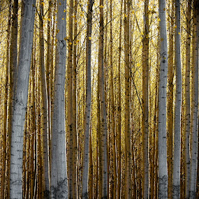 The Golden Forest by Ryan Snow - Landscapes Forests ( tree, dark, trees, forest, yellow, light, golden )