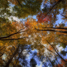 Looking Up by Mark Turnau - Landscapes Forests ( forests, fall colors, autumn, colors, fall, trees, forest, north carolina )