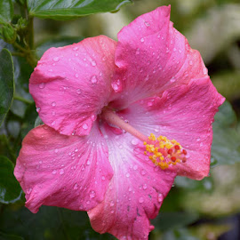 HIBISCUS by SANGEETA MENA  - Flowers Flowers in the Wild (  )