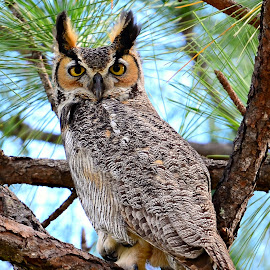 Long eared Owl by Ruth Overmyer - Animals Birds (  )
