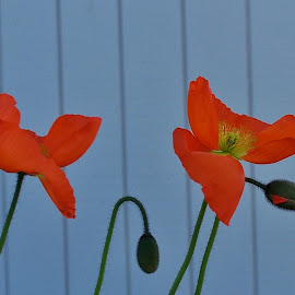 poppies by Sarah Harding - Novices Only Flowers & Plants