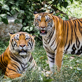 by Ryan Dominguez - Animals Lions, Tigers & Big Cats ( zoo life, big cats, zoo, couple, tiger couple, tigers, zoo cats )