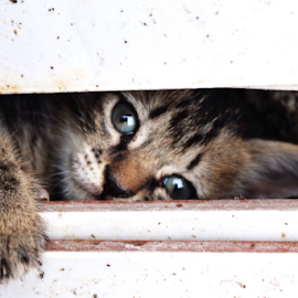 by Ruyat Supriazi - Animals - Cats Kittens (  )