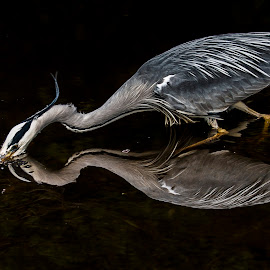 Heron by Jimmy Reid - Animals Birds ( nature, wildlife, birds, heron,  )