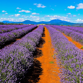 Lavender Farm by Lawrence Chung - Landscapes Prairies, Meadows & Fields