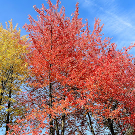 Red fall by Val Sher - Nature Up Close Trees & Bushes ( autumn, fall, trees )
