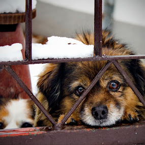 cold day by Aleksandar Z Dimitrijević - Animals - Dogs Portraits ( puppies, winter, dogs, snow, cute, gate )