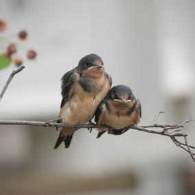 Barn Swallow Fledglings by Jack Nevitt - Animals Birds ( barn swallow, environment, outdoors, fledglings, bird, babies, cute, pair, avian )