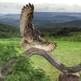 #great #horned #owl, #swooping in on the #action 😃 #African #bird of #prey #sanctuary, #magnificent #owls by Gareth Gamble - Animals Birds (  )