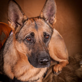 Are you leaving without me? by Myra Brizendine Wilson - Animals - Dogs Portraits ( pet, german shepherd dog, german shepherd, dog, gsd,  )
