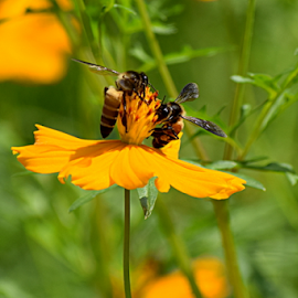 honey bees on a flower by Vivek Sharma - Flowers Flowers in the Wild ( vivekclix, bees, nature, vivek, yellow, beauty in nature, flower, honey bee )