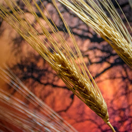Wheat by Ray Ebersole - Nature Up Close Other Natural Objects ( wheat, stock )