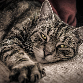 Sleepy cat by Katy Qutaimi - Animals - Cats Portraits ( tabby cat )