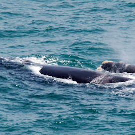 Southern Right Whale and her Calf by Stefan Smit - Animals Fish ( mammals, southern right whale, fish, calf, sea, ocean, whales,  )