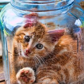 Kitten Playing in a Jar by Eugene Linzy - Animals - Cats Playing ( playing, cat, kitten, jar, glass jar )