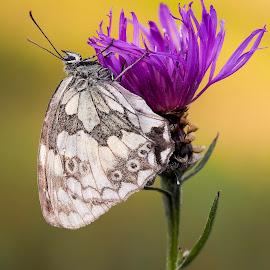 Schachbrett-Falter by Helmut Gloor - Animals Insects & Spiders ( insecta, butterfly, macro, butterflies, weiach, schweiz, schachbrett-falter, schmetterlinge, makro, insekten )