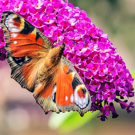Buddleia , the Butterfly Bush. by Thomas Thain - Animals Insects & Spiders