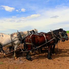 8 team horses by Jon Radtke - Transportation Other ( 8 team horses )