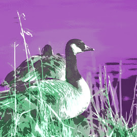 Canada geese by Danielle Royer - Digital Art Animals