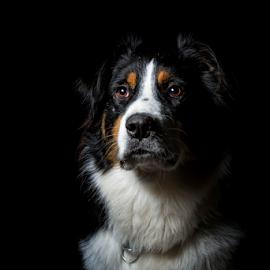 Noble beast Wiley by Geo Toth - Animals - Dogs Portraits ( australian, tri mix, dog, shepard, portrait, aussie,  )