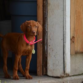 Khaleesi by Jasmine Cox - Animals - Dogs Puppies ( puppies, dogs, hungarian vizsla, puppy, vizsla, dog portraits, dog )