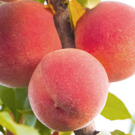peaches on the vine by Jackie Eatinger - Food & Drink Fruits & Vegetables (  )