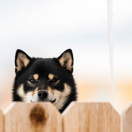 The People are Back by Chad Roberts - Animals - Dogs Puppies ( home, fence, shiba inu, coming home, back, dog,  )