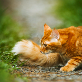 turning round by Annette Flottwell - Animals - Cats Playing ( zacate, gato, tomcat, matou, rouge, zorrito, chat, ginger, grass, cat, bokeh, gatito, tamron 300mm 1988,  )