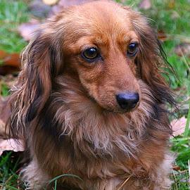 Sitting Under Sufferance by Chrissie Barrow - Animals - Dogs Portraits ( dachshund (miniature long haired), long haired, white, portrait, eyes, sitting, red, female, pet, ears, fur, dog, nose, tan )