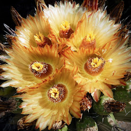 Barrel Cactus Bouquet by Dawn Hoehn Hagler - Flowers Flower Gardens ( yellow flowers, barrel cactus flowers, cacts, arizona, tucson, southwest, nursery, yellow, barrel cactus, cactus flower, flowers, bach's cactus nursery )