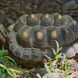 by Jim Jones - Animals Reptiles ( turtles, turtle, animal, animals, reptile )