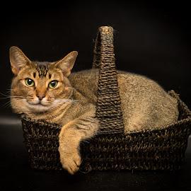 basket of cat by Rita Bruche - Animals - Cats Portraits ( cat, basket, brown, feline, cute, tabby )