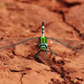 by Akash Kumar - Animals Insects & Spiders ( dragonfly )