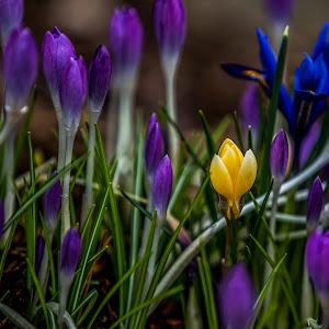 IMGL6032 edited,crocus,flowers,yellow,purple,clean,garden.jpg