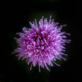 Single by Juha Kauppila - Flowers Single Flower ( macro, sharp, close up, black, flower,  )