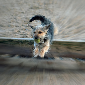 Fetch by Dave Smith - Animals - Dogs Running