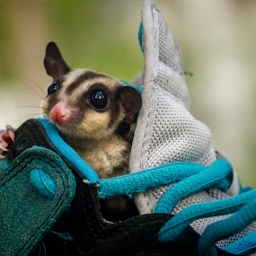 In my shoes by Sugeng Sutanto - Animals Other ( animals, sugar glider, animal )