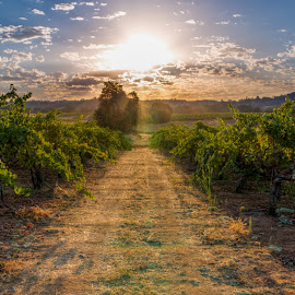 Vineyard Path by Mark Tart - Landscapes Sunsets & Sunrises ( ca, vineyard, calif., california, amador county, sunrise, scenery, landscape )