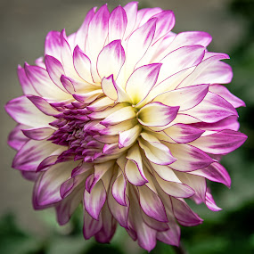 Single Beauty by Jerry Cahill - Flowers Single Flower ( pink flowers, gardens, flowers, dahlia, floral,  )