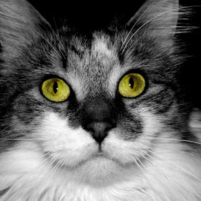 YELLOW by Darcie Wright - Animals - Cats Portraits