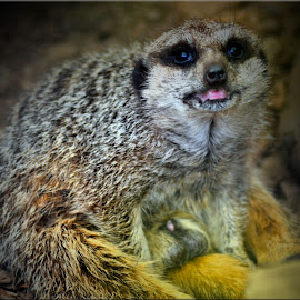 meerkat by Nic Scott - Animals Other ( meerkat, animal )
