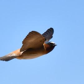 Cliff Swallow in Flight by Steven Aicinena - Animals Birds